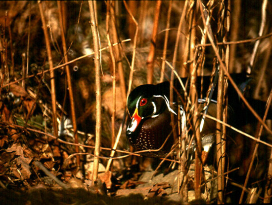 Vermont Woodchuck sent me this pic of a male Wood Duck, taken in March a few ...