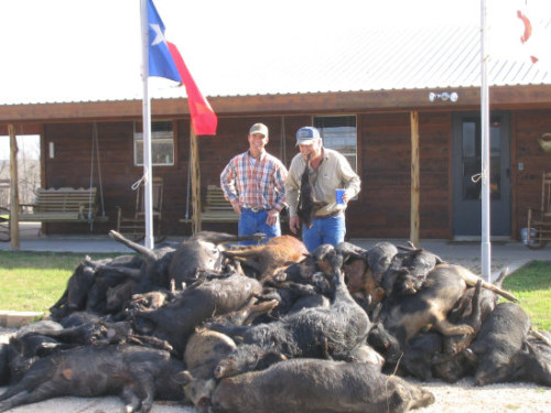 Show Pigs in Texas a Recent Texas Pig Hunt