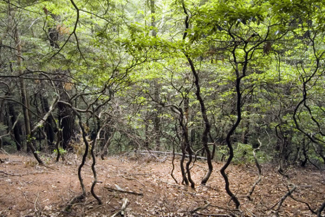 More On Pruning How To Deal With Over Grown Leggy Mountain