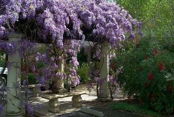 Weeping Wisteria