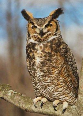 owls hooting