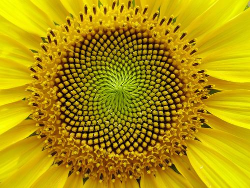 http://maggiesfarm.anotherdotcom.com/uploads/sunflower.jpg